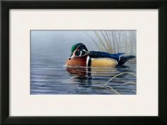 Male Wood Duck Prints by Andrew Kiss at AllPosters.com