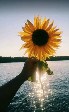 This is why I trust sunflowers are beautiful than *roses* - Sunflower - Cute Wallpapers, Wallpaper Backgrounds, Iphone Wallpaper, Sunflower Pictures, Sunflower Quotes, Sunflower Wallpaper, Jolie Photo, Pretty Pictures, Aesthetic Wallpapers