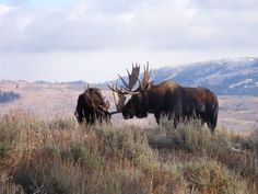 jackson hole wyoming | Jackson Hole WY moose | Goosewing Ranch