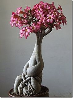 flower bonsais can come up in extraordinary forms. Mr. Jai Krishna Agarwal from india has about 100 specimens in his collections and he especially loves adenium flowers. Why? Because their trunks often remind the shapes of the human body