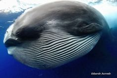 The creature, although it resembles an alien being you might see featured in a science-fiction movie, was identified by Eduardo Acevedo as a Bryde's whale. Acevedo's extraordinary photographs reveal the gargantuan mammal just as it has ingested practically an entire school of bait fish.