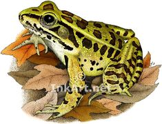 Northern Leopard Frog (Rana pipiens) Line Art and Full Color Illustrations Frog Rock, Frog Art, Animal Science, Cute Frogs, Frog And Toad, Stock Art, Reptiles And Amphibians, Woodland Creatures, Animal Paintings