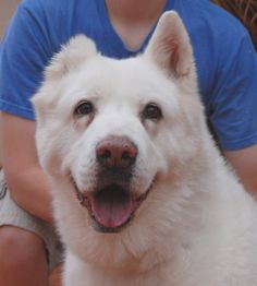 Olivia, a snow-white Akita beaming with good cheer, a loyal girl now ready for adoption at Nevada SPCA.... http://nevadaspca.blogspot.com/2014/04/i-have-so-much-love-but-it-was-not.html