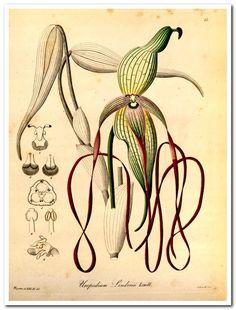 Xenia orchidacea:  Heinrich Gustav Reichenbach: Publication info Leipzig: FA Brockhaus ,1858-1900.