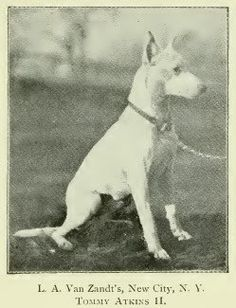 TOMMY ATKINS II (ENGLISH WHITE TERRIER)~1897