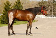 hip mismark All The Pretty Horses, Beautiful Horses, Somatic Mutation, Horse Coat Colors, Horse Markings, Pinto Horses, Bay Horse, Bays, Horse Photos