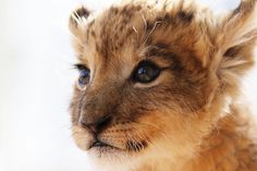 Expecting A Baby? Cute Animals Images, Cute Animal Pictures, Cute Baby Animals, Funny Animals, Nature Animals, Animals And Pets, Kittens Cutest, Cats And Kittens, Pet Lion