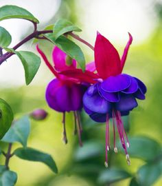 Fuchsia Blossoms .. my two FAV colors together!