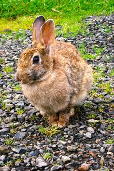 Wild Rabbit at Pacific Beach Oregon - Johnson-Miles photo