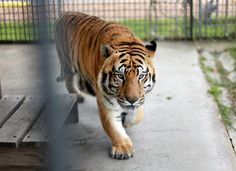 Truck Stop Tiger in Louisiana Stirs Legal Battle - NYTimes.com