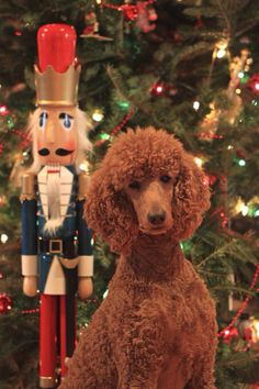 My beautiful Standard poodle Scout at Christmas.