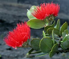 Red Pua Lehua ('Ohi'a Blossom) - Official Island lei material for Hawaii