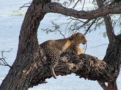"""""""We were all so excited just to be in the bush but never expected to see a leopard relaxing in a tree overlooking his next morning snack… impalas. He jumped off and disappeared into the long grass. Rhino Africa, Impalas, Game Reserve, Elephants, Safari, Grass, Wildlife, African, Blog"""