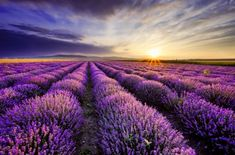 Photo about Sunrise over blooming fields of lavender on the Valensole plateau in the Provence in southern France. Image of landscape, diminishing, morning - 67953401 Lavender Fields, Lavender Flowers, Lavender Oil, Flowers Nature, Provence Lavender, Blue Flowers, Stretched Canvas Prints, Champs, Land Scape