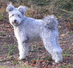pumi / pumi, Hungarian or magyar terrier  http://en.wikipedia.org/wiki/Pumi_%28dog%29  http://es.wikipedia.org/wiki/Pumi_%28perro%29