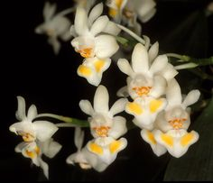 Moth-orchid: Phalaenopsis gibbosa - This species is found in Laos, and Vietnam in broadleafed, evergreen, lowland forests at elevations of sealevel to 1000 meters as a mini-miniature-sized, hot to warm- growing epiphyte.
