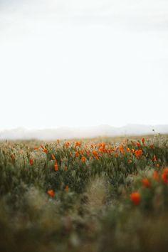 Pinterest || @kylawren  california poppy field