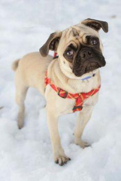 Inquisitive Little Pug Face Puppy!