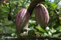 Image result for caribbean fruit trees