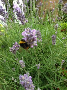 big fat bee going mad on the lavender