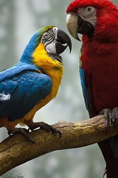 Blue-Gold Macaw and Green-Winged Macaw Parrots