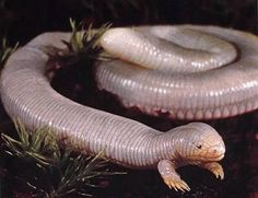 The Ajolote Lizard, aka the Mexican Mole Lizard, lives mainly underground eating worms and other insects. This reptile can be found only in the Baja California peninsula in Mexico.