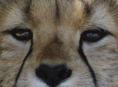 stunning Conservation, Cheetah, Fox, Cats, Animals, Gatos, Animales, Animaux, Animal