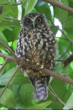 Morepork New Zealand Owl .used to love lying in bed listening to these little fellas.(Another pinner). Birds 2, Birds Of Prey, Pet Birds, Beautiful Owl, Animals Beautiful, Cute Animals, Nocturnal Birds, Kiwiana, Felt Flowers