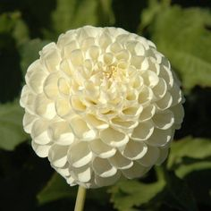 "Ball-Dahlien ""White Nettie"""