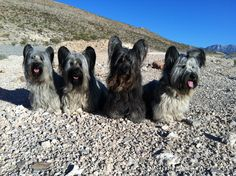 Skye Terriers Skye Terrier, Terrier Dogs, Little Dogs, Big Dogs, Dogs And Puppies, Skinny Dog, Pet Pictures, Dog Varieties, Cairns