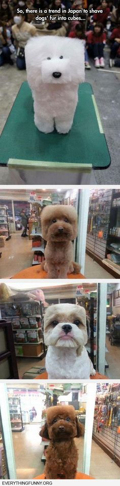 funny dog pictures new trend in  Japan to shave dogs' fur into cubes boxes. First one looks fake.