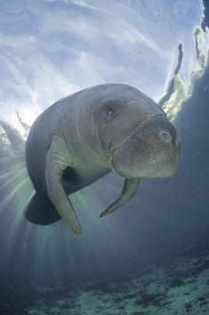 I am blessed to live to be able to see these majestic Manatees :)