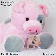 Mini & Micro Juliana Baby Pigs For Sale - Mini Pocket Pigs : Mini Pocket Pigs Baby Pigs For Sale, Cute Baby Pigs, Cute Babies, Micro Piglets, Pocket Pig, Mini Pig, Indoor Pets, Pet Pigs, Teddy Bear