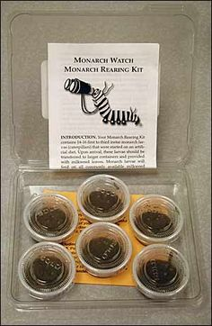 This Monarch Rearing Kit contains fourteen to sixteen first to third instar monarch larvae (caterpillars) and rearing instructions.