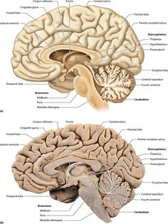 Diencephalon and brain stem structures picture Nerve Anatomy, Brain Anatomy, Human Anatomy And Physiology, Medical Anatomy, Anatomy Study, Body Anatomy, Brain Stem, Brain Science, Medical Science