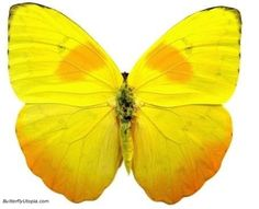 Yellow Butterfly | ... philea bright yellow butterfly pictures, photos, picture, photo, pics