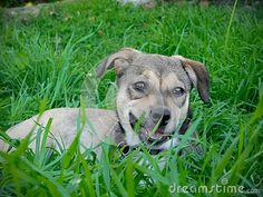 A view of a crossbreed rescue pup resting in long grass after playing. Guinea Pigs, Sheep, Goats, Pitbulls, Pup, Cute Animals, Horses, Pretty Animals, Pitt Bulls