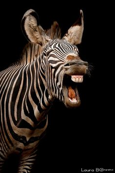 Laughing zebra ✿⊱╮ Beautiful Pictures