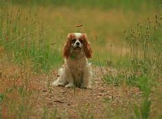Cavalier King Charles Spaniel Pictures Page 4
