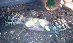 Hungry tortoises - Herbie and Alan love cucumber