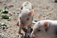 """Avery"" Juliana Piglet | Tucson Tiny Pigs| Juliana Mini Pig"