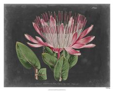 World Art Group, Dramatic Protea II, Curtis