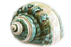 """POLISHED PEARL BANDED GREEN  SNAIL SHELL 3 to 3-1//2/""""  BEACH  DECOR ONE 1"""