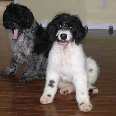 Lizzy and Fergie at 14 weeks of age. Cutest Puppy Ever, Portuguese Water Dog, Cute Puppies, Age, Pets, Animals, Animales, Animaux, Animal