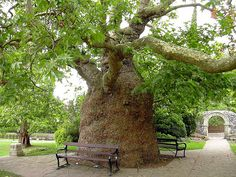Believed to be over 200 years old, this Oriental Plane tree in Westgate Gardens, Canterbury UK is said to have grown through a circular iron bench which used to surround it.  The trunk is 25 feet around.