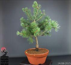 Pino blanco ..Pinus Parviflora