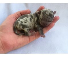 Rare Tiny Dogs Sale | Tiny Apple Head Chihuahua Puppy's Rare Colors is a Chihuahua Puppy For ...