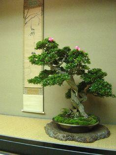 さつき <3 Satsuki bonsai exhibition Kazumi Matsunuma 3 Exhibition (Satsuki)