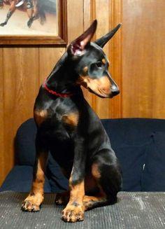 This fella will grow to be a beautiful Doberman #dobermanpinscher
