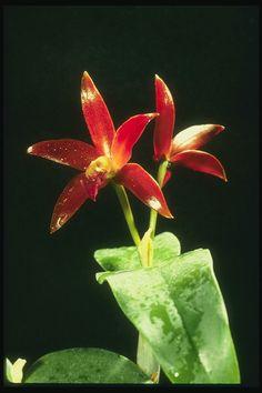 Orchid červené, veľké listy tmavo zelené škvrny.
